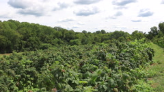 Raspberry Bushes - Hand Picking Field Wide Shot Stock Footage