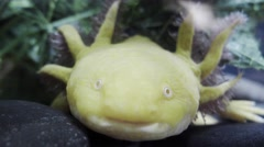 Mexican axolotl Stock Footage