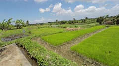 Young rice plants before putting in field, panning right Stock Footage