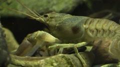Crayfish closeup side view Stock Footage