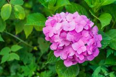 Pink hydrangea with leaves in the garden Stock Photos