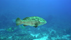 Grouper fish in the current - underwater shot, Red Sea, Shaab Rumi Stock Footage