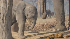 Baby Elephant with baby,Chitwan,National Park,Nepal Stock Footage