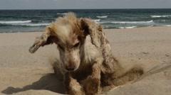 Dog dig hole in sand kitesirfing. Stock Footage