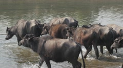 Water buffalo herd entering river,Chitwan,National Park,Nepal Stock Footage