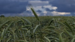 Wheat and rainy clouds - Slow motion Stock Footage