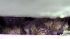 Bats hiding in a crevice closeup Stock Footage
