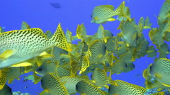 School of colorful tropical fish, black spotted sweetlips Stock Footage