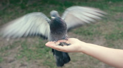 Dove eat seeds from a hand, flapping its wings. Feeding of pigeon. Arkistovideo
