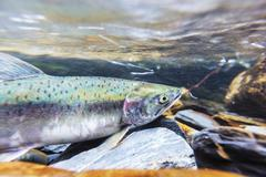 Spawning salmon Kuvituskuvat