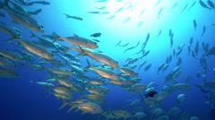 School of silver colored tropical fish - Bigeye trevally, Carnax sexfaciatus Stock Footage