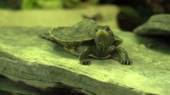 Baby green slider turtle sunning on rock Stock Footage