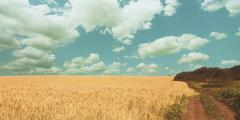 Golden wheat field, rural nature, harvest and farming background Stock Photos