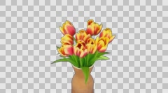 Time-lapse of opening red-yellow tulips in a vase, 4K with ALPHA channel Stock Footage