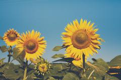 Sunflower at blue sky background, agricultural oil farming Stock Photos