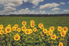 Sunflowers at blue sky background, agricultural oil farming Stock Photos