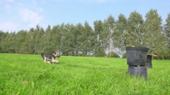 Little dog running and jumping over improvised barrier, slow motion. Stock Footage