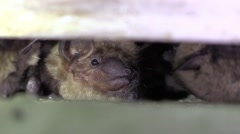 Bats hiding in a crevice closeup moving back and forth show teeth Stock Footage
