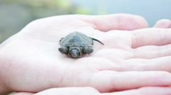 Close up of baby turtle Stock Footage