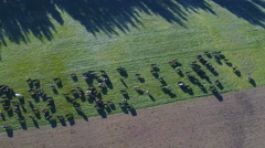 Aerial view of cows in green pasture Stock Footage