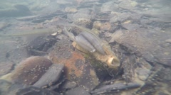 Lampsilis mussel in sunlight with minnows Stock Footage