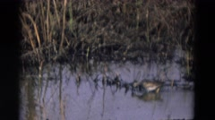 1969: a bird wading through shallow water and eating  Stock Footage