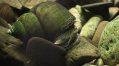 Large freshwater snail closeup Stock Footage
