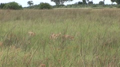 Young Lion wild dangerous mammal africa savannah Kenya Stock Footage