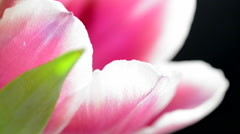 Tulip flower close up with slow sliding motion Stock Footage