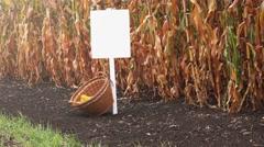 Harvested corn in wicker basket Stock Footage