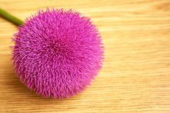Fluffy thistle flower. Stock Photos