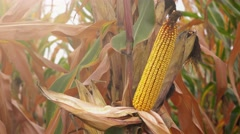Harvest ready corn plantation, ripe maize in field Stock Footage
