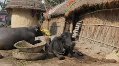 Water buffalo's at farm,Kushinagar,India Stock Footage