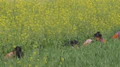 Women harvesting wheat in field,Kushinagar,India Stock Footage