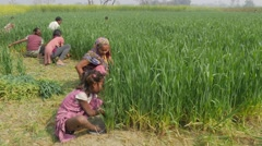 Girl helping harvesting wheat in field,Kushinagar,India Stock Footage