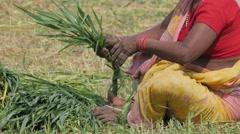 Woman binding wheat in field,Kushinagar,India Stock Footage