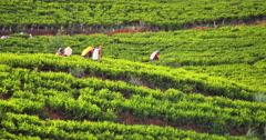 Oriental female workers picking fresh tea leaves on plantation estate Stock Footage