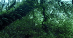 Old big tree overgrown by moss and ferns in dense forest of highland woodland Stock Footage