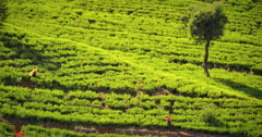 Local female workers picking tea leaves on plantation in rural countryside Stock Footage