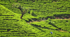Local woman working on tea plantation picking fresh green leaves on hill slop Stock Footage