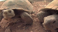 Endangered desert tortoises close up. Stock Footage