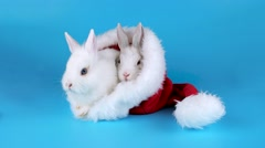 Two funny bunnies basking in the Santa Claus hat, on blue chroma key Stock Footage