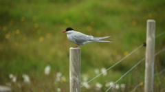 Arctic tern kria perched on a wooden fence green pasture shallow dof Stock Footage