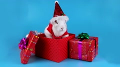 Adorable white Christmas rabbit sniffing and looking around in gift box Stock Footage