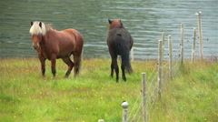 Icelandic horses next to ocean and arctic tern kria perching on fence post Stock Footage