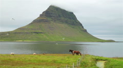 Icelandic horses and sheep next to ocean under arctic tern kria swarm Kirkjufell Stock Footage