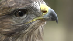 Close-up Red-tailed hawk. Bird of prey. Slow motion shot Arkistovideo