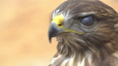 Close-up Red-tailed hawk. Bird of prey. Slow motion shot Stock Footage