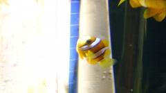 Clownfish or anemonefishfish swimming in water tank aquarium Stock Footage