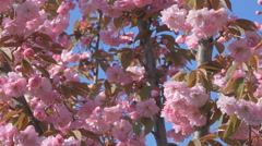 Sakura cherry tree branch pink flower flowers blossom Japan garden zooming in Stock Footage